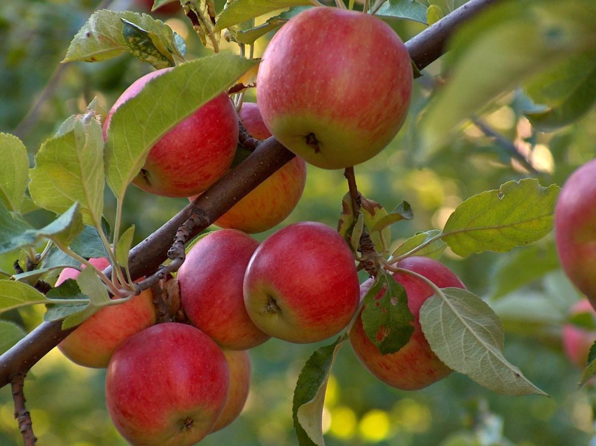 Potatura-alberi-da-frutto_O1